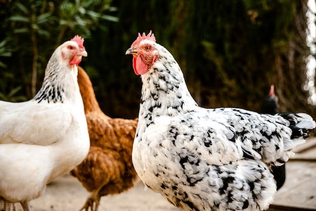 Kury dziobią w glebie ekologicznej farmy, aby złożyć jaja dzika.