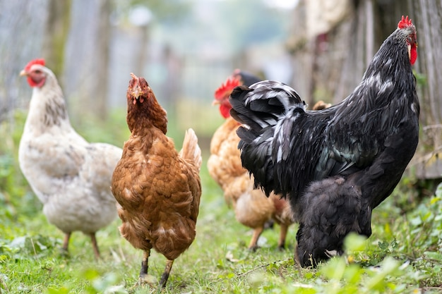 Kury karmiące się na tradycyjnym wiejskim podwórzu. zamknij się z kurczaka na podwórku stodoły. koncepcja hodowli drobiu na wolnym wybiegu.