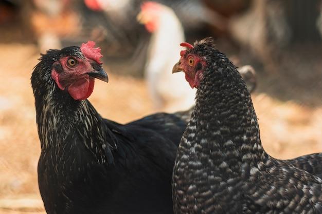 Kury patrzą na siebie na podwórku gospodarstwa