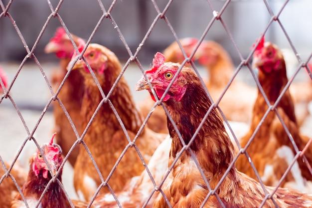 Kury w kurniku. kury w gospodarstwie ekologicznym. kurczak w kurniku. kurczaki w gospodarstwie rolnym przy słonecznym dniem
