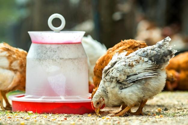 Kury żywią się tradycyjnym wiejskim podwórkiem. zamknij się z kurczaka stojącego na podwórku stodoły z podajnikiem ptaków. koncepcja hodowli drobiu na wolnym wybiegu.