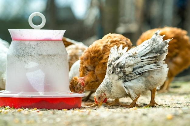 Kury żywią się tradycyjnym wiejskim podwórkiem. zbliżenie kurczaka stojącego na podwórku stodoły z podajnikiem ptaka. koncepcja hodowli drobiu na wolnym wybiegu.