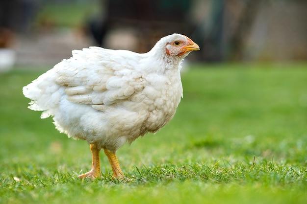 Kury żywią się tradycyjnym wiejskim podwórkiem. zbliżenie kurczaka stojącego na podwórku stodoły z zieloną trawą. koncepcja hodowli drobiu na wolnym wybiegu.