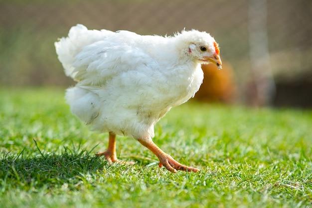 Kury żywią się tradycyjnym wiejskim zagrodem. zamknij się z kurczaka stojącego na stodole z zieloną trawą. koncepcja hodowli drobiu na wolnym wybiegu.