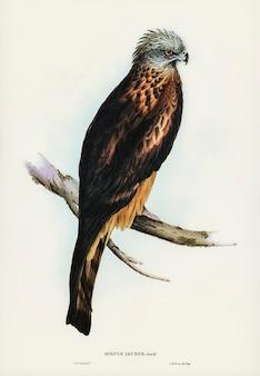 Kwadratowy latawiec (milvus insures) zilustrowany przez elizabeth gould