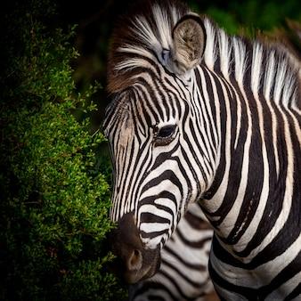 Kwadratowy portret zebra w parku narodowym w południowa afryka