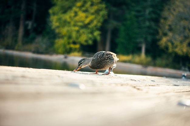 Kwak kaczka na drewnianym moście nad jeziorem tahoe