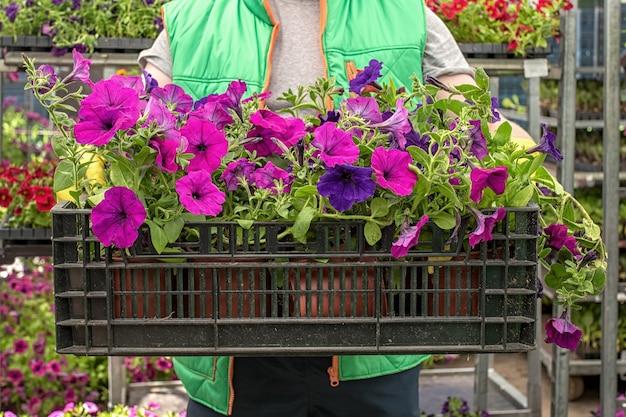 Kwiaciarnia posiada pudełko pełne kwiatów petunii. ogrodnik niesie w sklepie kwiaty w skrzynce. przygotowanie do sezonu letniego.