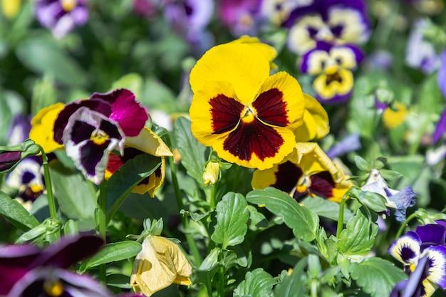 Kwiat altówki w ogrodzie w słoneczny letni lub wiosenny dzień
