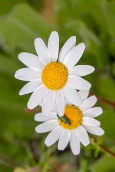 Kwiat anthemis maritima (koper włoski)