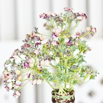 Kwiat arcydzięgielowi officinalis w wazie. biali mali kwiaty na zielonej aureoli.