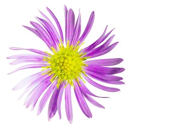 Kwiat aster alpejski białe tło izolowane zbliżenie fotografowanie makro koncepcja drukowania i projektowania