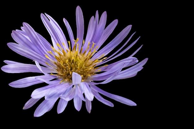 Kwiat aster alpejski czarne tło izolowane zbliżenie fotografowanie makro koncepcja drukowania i projektowania