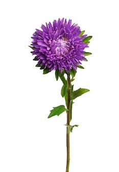 Kwiat aster na białym tle