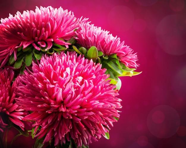 Kwiat aster na różowym tle