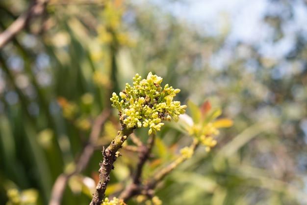 Kwiat awokado na roślinie