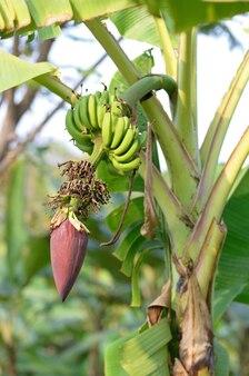 Kwiat banana