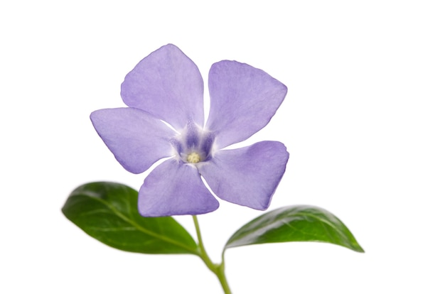 Kwiat barwinka