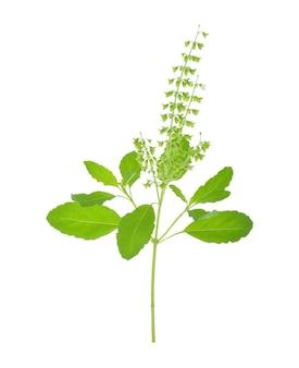 Kwiat bazylii na białym tle