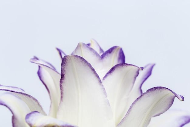 Kwiat białej lilii z bliska płatki lilii piwonii