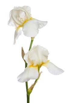 Kwiat białej tęczówki na białym tle