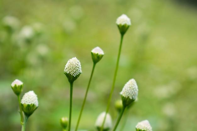 Kwiat białej trawy