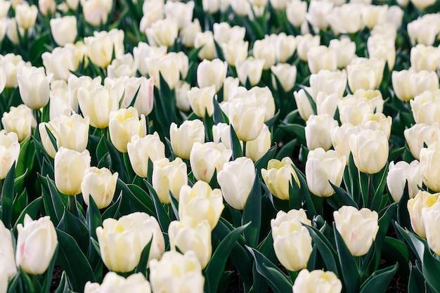 Kwiat białych tulipanów