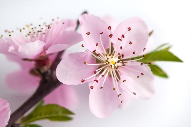 Kwiat brzoskwini na białym tle