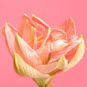 Kwiat brzoskwiniowy dość makro