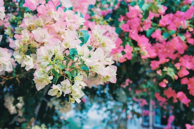 Kwiat bugenwilli na płocie.