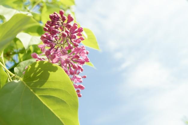 Kwiat bzu w scenie wiosennej. wiosenne kwitnące kwiaty bzu. copyspace