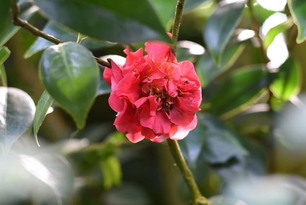 Kwiat camellia japonica