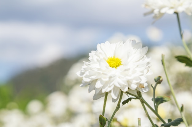 Kwiat chryzantema białego
