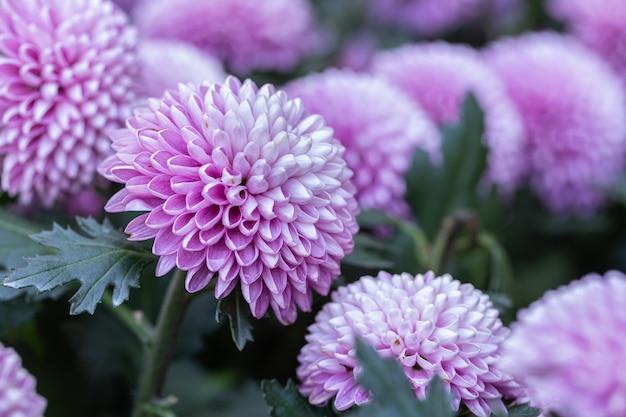 Kwiat chryzantemy pompon w ogrodzie