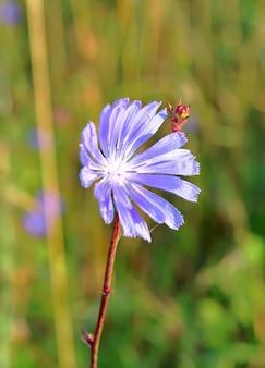 Kwiat cykorii. jasnoniebieski kwiat polny na zbliżeniu łodygi