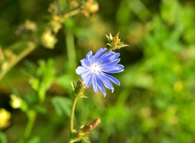 Kwiat cykorii. niebieski kwiat polny na rozmytym zielonym tle
