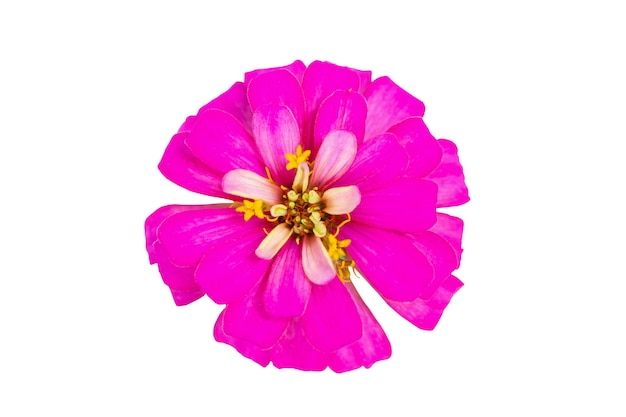 Kwiat cynia bliska na białym tle