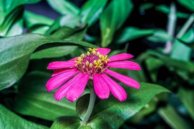 Kwiat cynia elegans kwitnie i pięknie wygląda