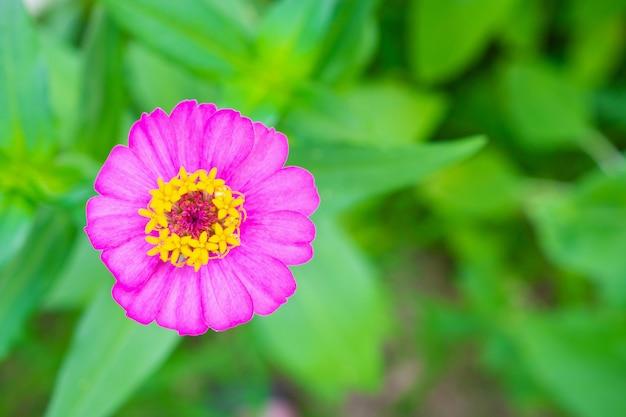 Kwiat cynia z bliska w ogrodzie