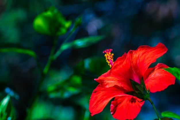 Kwiat czerwony rosemallows