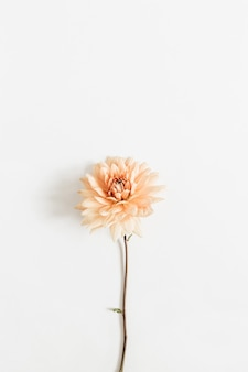 Kwiat dalia na białym tle na białej powierzchni