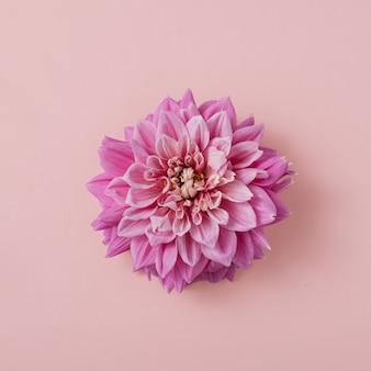 Kwiat dalii na zbliżenie pastelowe różowe tło. minimalna koncepcja kwiat. leżał płasko.