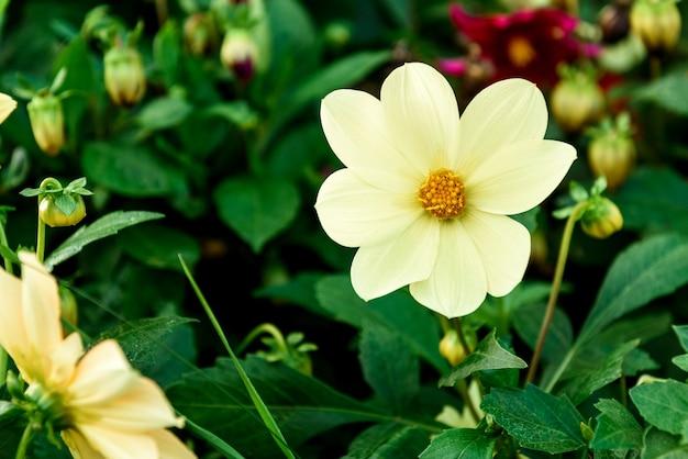 Kwiat dalii rośnie w ogrodzie.