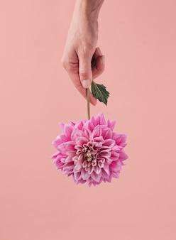 Kwiat dalii w kobiecej dłoni na pastelowym, współczesnym różowym tle. koncepcja prezentu.
