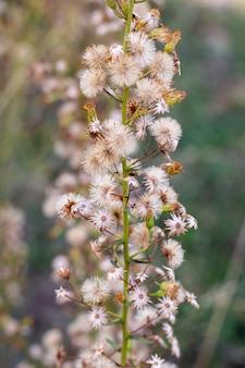 Kwiat dittrichia graveolens