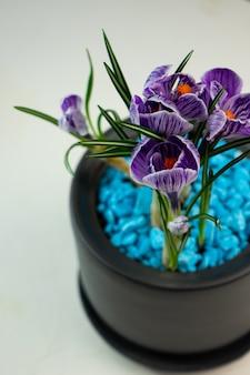 Kwiat domowy, fioletowe krokusy w ciemnoszarej doniczce