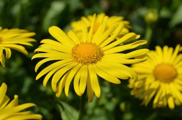 Kwiat doronicum