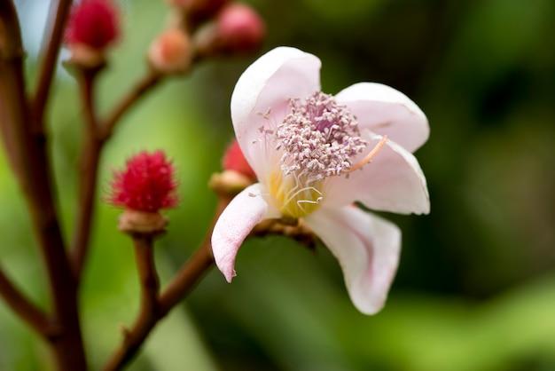 Kwiat drzewa anatto kwitnący na tle przyrody