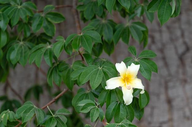 Kwiat drzewa baobabu