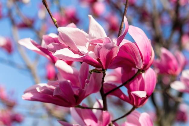 Kwiat drzewa magnolii